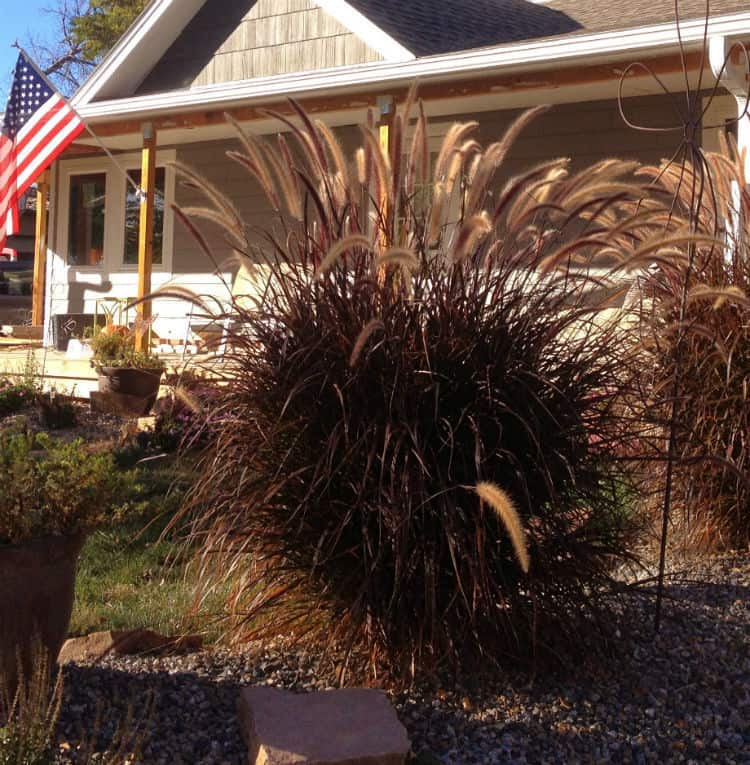 landscape-ideas-Purple Fountain Grass
